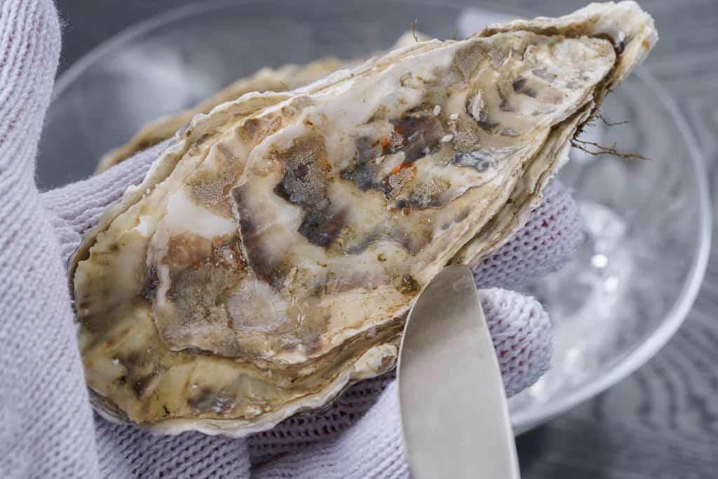 軍手をはめて厚岸産の牡蠣を手に持ちナイフで開けるところ