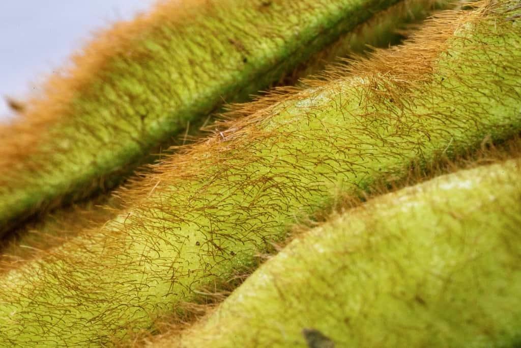 青森県津軽地方の毛豆枝豆の毛、いたや毛豆の毛